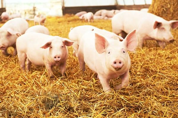 Acepsis Animal Hygiene
